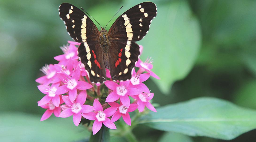 A butterfly collecting nectar from a pink flower in Barra Honda National Park, Costa Rica
